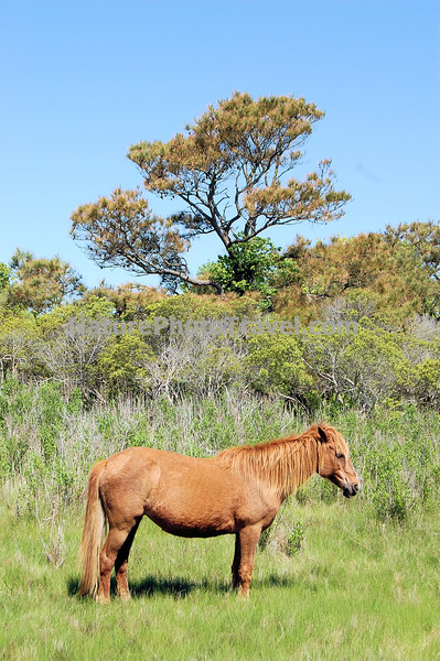 Chincoteague Pony - Mare guarding band.