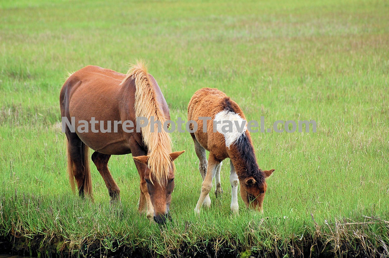 Chincoteague Ponies - Mare & Foal grazing