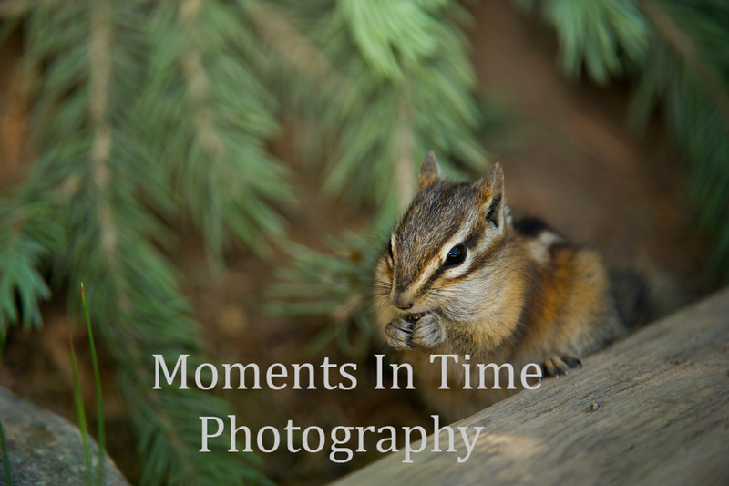 Chipmunk   ( Neotamias quadrivittatus)