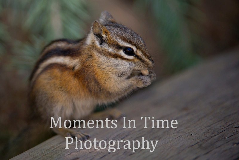 Chipmunk on wood plank