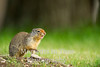 Columbian ground squirrel chirping