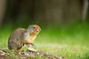 Columbian ground squirrel chirping