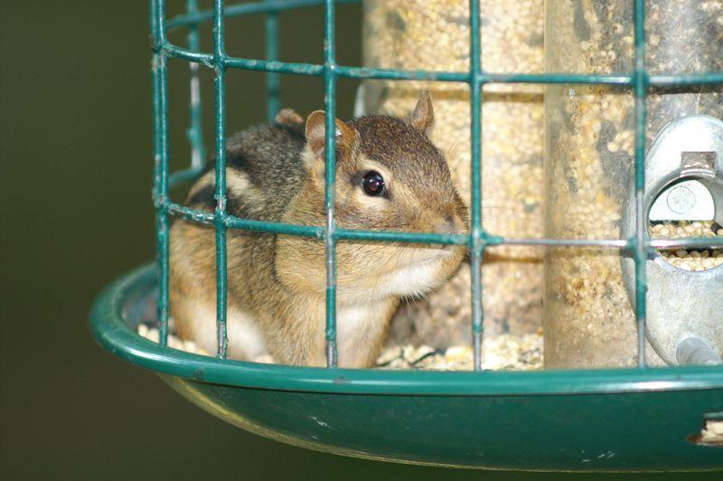 Chipmunk in Bird Feeder