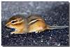 6-7-05 Baby Chipmunk