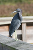 This Tri-color Heron greeted us as we walked into Green Cay Nature Center