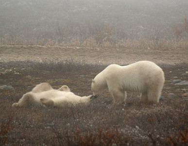 The younger bear was more submissive. Photo by Karen