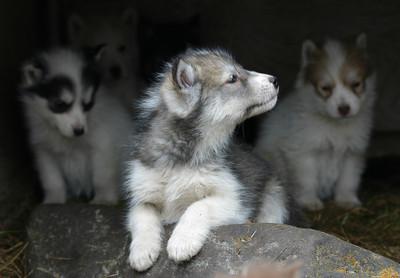 Pups in Churchill, Manitoba