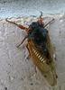 cicada6209