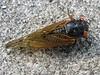 cicada6208
