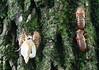 cicadas2782