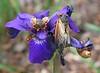 cicadas on iris2945