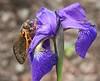 cicada on iris2944