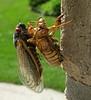 cicada6151