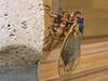 cicada6133