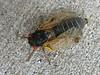 cicada6147