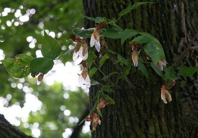 Cicadas 2007