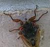 cicada6210