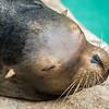 Sleeping Seal Portrait<br /> Cincinnati Zoo