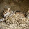 Wolves<br /> CIncinnati Zoo