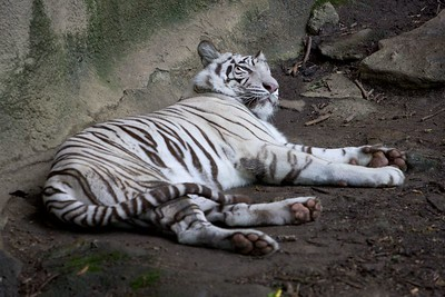 The signature White Tiger