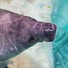 Snooty the Manatee