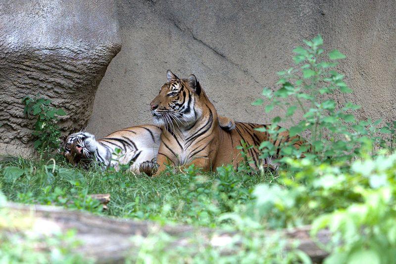 Cuddle Tigers