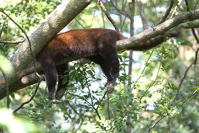 Ah, nothin' like a nap in the trees on a hot summer day...