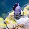 The Purple Fish