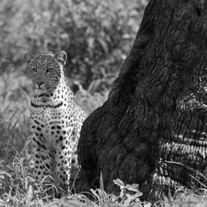 Young female leopard contemplates impala