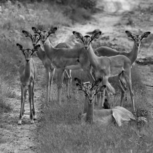 Young Entree Impala Feeling Chummy