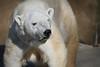 Polar Bear 003
