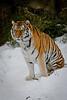 Tiger 003