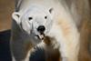 Polar Bear 002