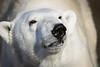 Polar Bear 005