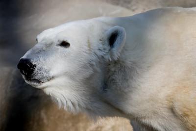 Polar Bear 004