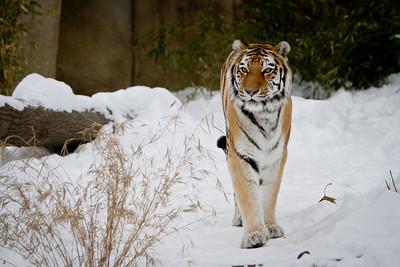 Tiger 002