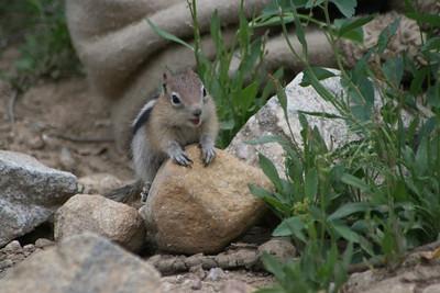 Holding Court Wild Chipmunk in Montana