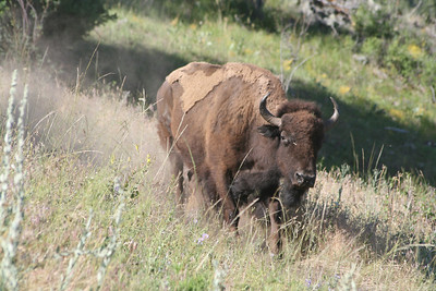 Charging Bison (Thank Goodness for long lens)