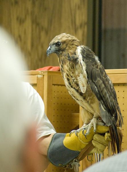 Red-Tailed Hawk, his brow ridges make him look pretty fierce.