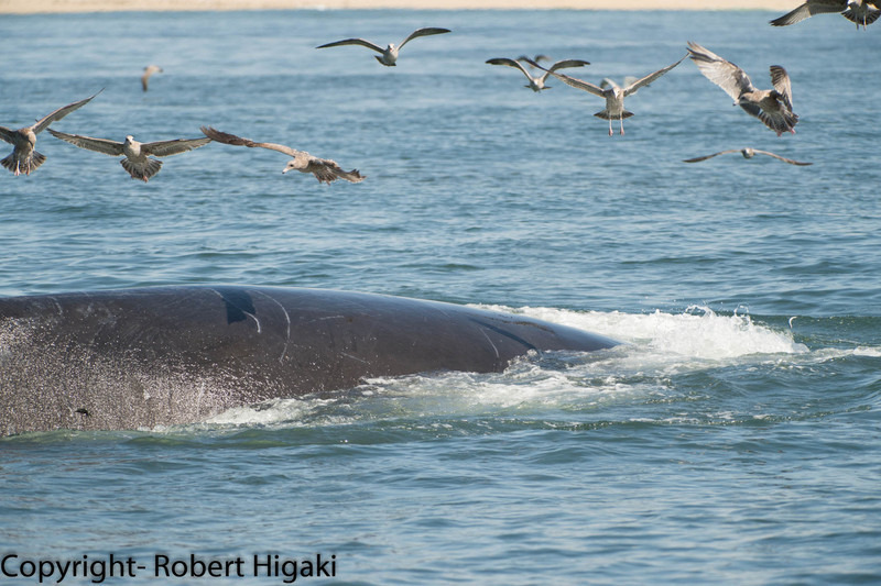 this is normal: birds are always associated with whales. there is food!