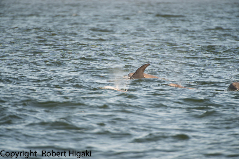 Risso's dolphin: tiny water spout