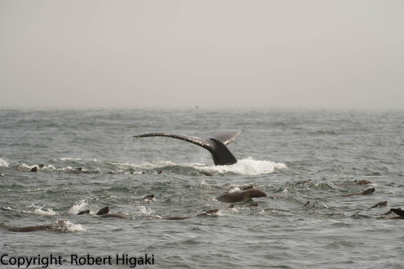Usually, you have birds associated with the whales; this time, it is sea lions<br /> when the whale dives, the sea lions dive, too.