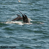 risso's dolphin diving as a Pacific White-sided dolphin swims by
