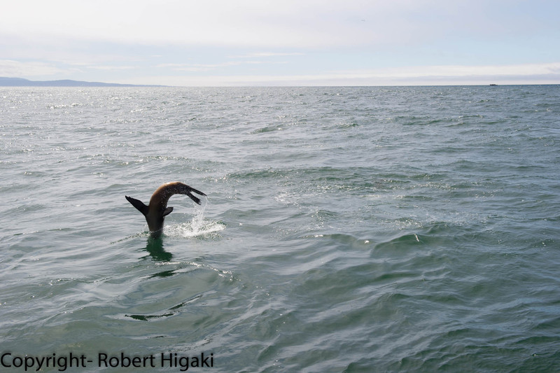sea lion flipping out