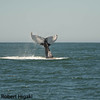 Humpback: tail lobbing