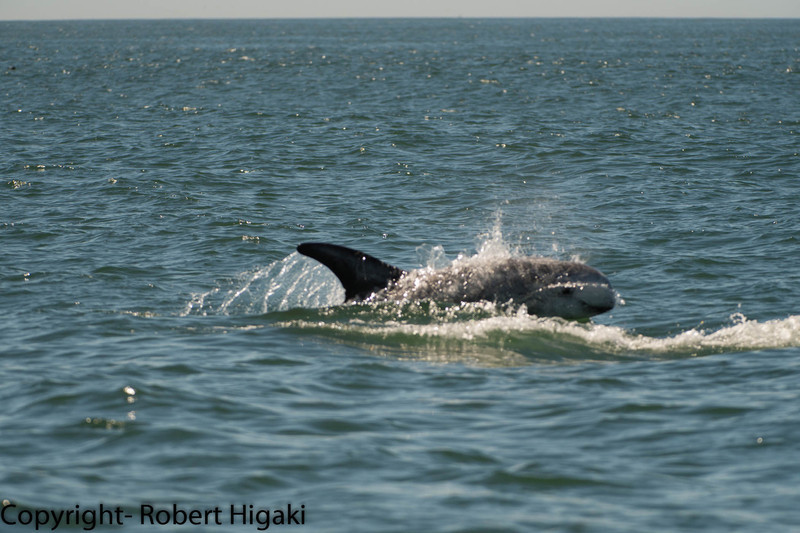 Risso's dolphin<br /> They eat giant squids. The scarring on the bodies are from the squid biting the dolphins and fighting with other dolphins.