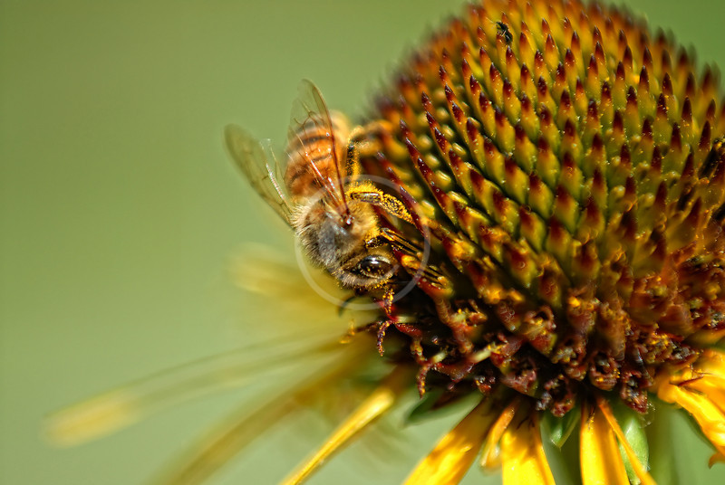 Closeup of a honeybee pollinating