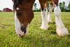 4943 Munching in Pasture