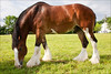 4971 Clydesdale Grazing at Maple Crest Farm