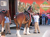"The Anheuser-Busch Clydesdales parading through downtown Burlington, Iowa on May 14th, 2009 making ""token"" deliveries to local bars & restaurants."